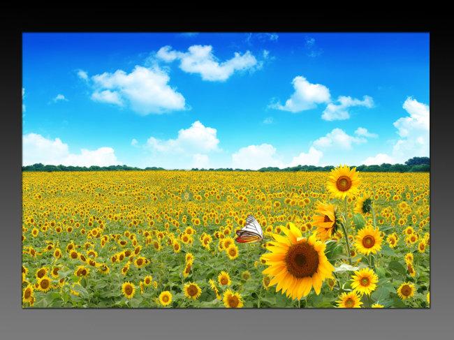 向日葵图片 向日葵蓝天 向日葵园 向日葵背景 绿树林 说明:蓝天白云