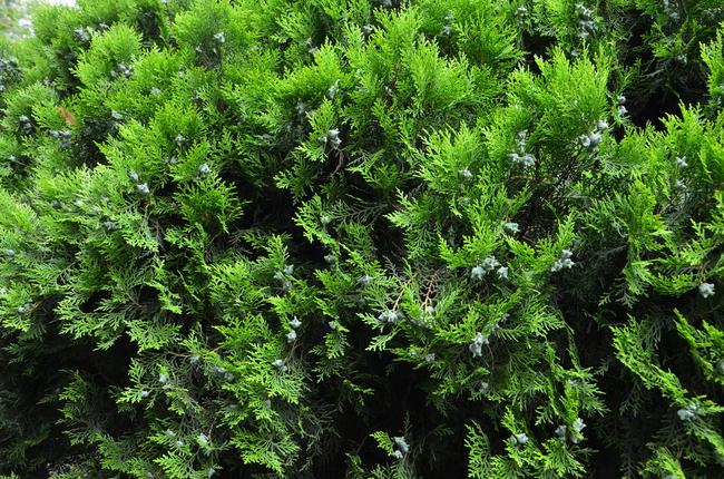 关键词:柏树叶子背景素材 柏树 柏树叶子 柏树叶高清图片 柏树风景