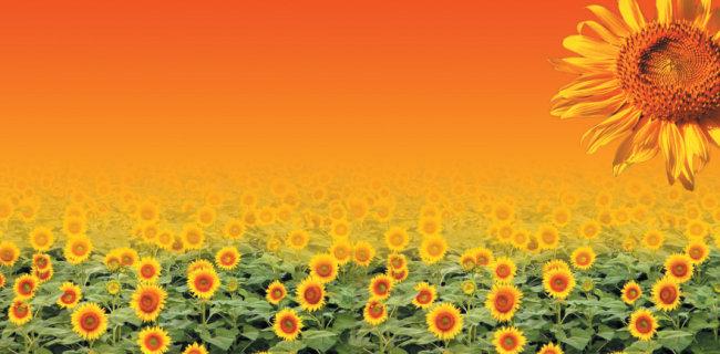 > 会议背景板素材  关键词: 会议背景板 素材 金黄 收获 向日葵 秋天