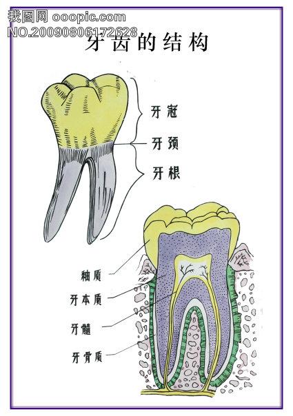 【psd】牙齿的结构
