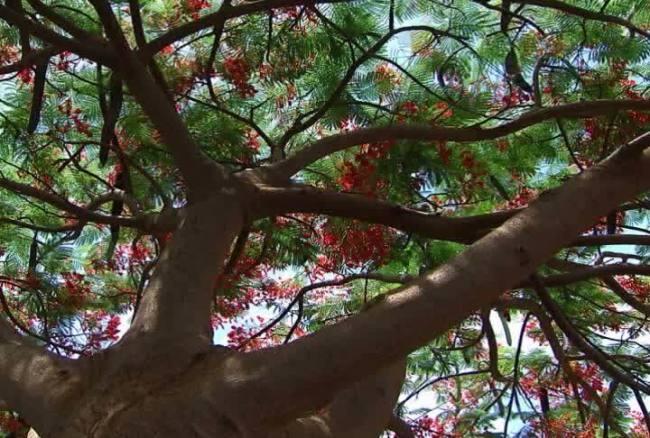 【avi】仰拍大树鲜花盛开视频背景素材