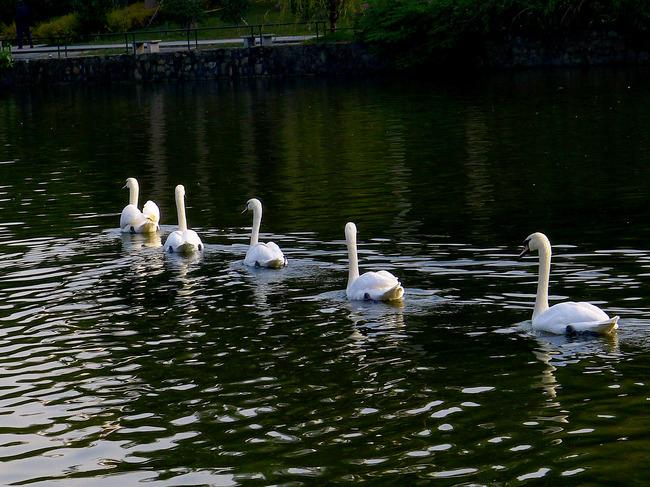 原创专区 > 天鹅湖  关键词: 天鹅 展翅 动物 动物园 说明:天鹅湖