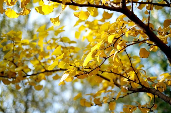 【jpg】秋天的银杏树