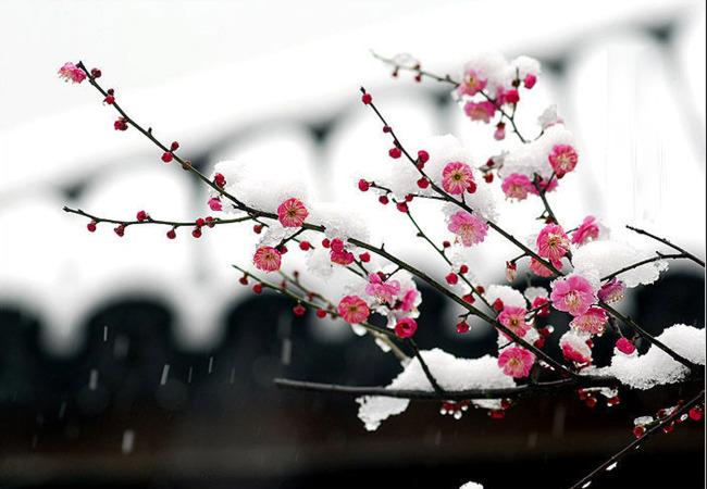 梅花花纹 喜鹊 红梅花 中国画梅花 梅花香自苦寒来 装饰画 腊梅 风景